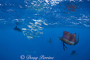 Atlantic sailfish, Istiophorus albicans, attacking bait ball of Spanish sardines (aka gilt sardine, pilchard, or round sardinella ), Sardinella aurita, off Yucatan Peninsula, Mexico ( Caribbean Sea ) (de)