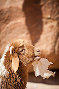 A sheep chews on a plastic bag at a remote Bedouin encampment in Wadi Rum, Jordan.