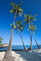 Coconut Palms, Cocos nucifera, Pu`uhonua o Honaunau or Place of Refuge National Historical Park, Honaunau, Big Island, Hawaii