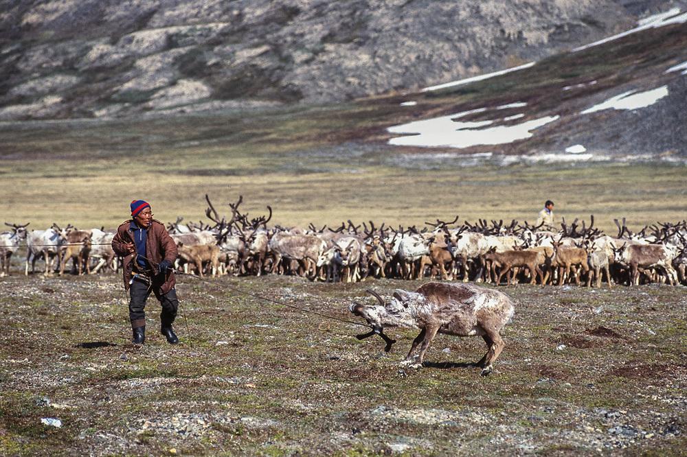 Yura Kelentegrey lassoes a reindeer, Chukchi reindeer camp, Val 'karvaam Valley, Chukotsk Peninsula, Russia