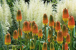 Kniphofia linearifolia against a background of pampas - Cortaderia selloana 'Pumila' at Great Dixter