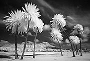 Diamond Head and Palm trees.
