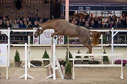 057, Quintus van het Bokt<br /> Hengstenkeuring BWP - Lier 2019<br /> © Hippo Foto - Dirk Caremans<br /> 18/01/2019