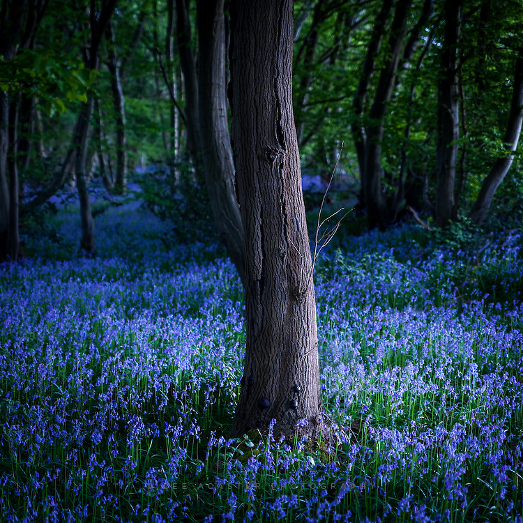 Another Bluebell shot from Wayland Wood on Firday. There is a great carpet of flowers, but not the open vistas I was hoping for as its a regualarly coppiced woodland, so had to close in more on individual details.