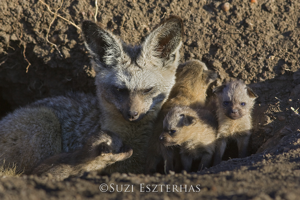 Bat-eared fox<br /> Otocyon megalotis<br /> With 13 day old pup(s) at den<br /> Masai Mara Reserve, Kenya