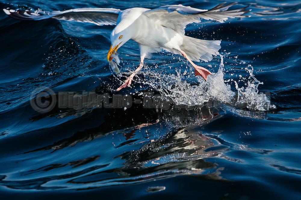 Hungry Seagull, nearby Sandsøy, Norway | Sulten Måke i nærheten av Sandsøy.