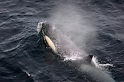 Type B Orca, Killer whale, which prey on seals, near the Greenpeace ship Esperanza, Ross Sea..Southern Ocean Whaling 2007. February 23 2007..