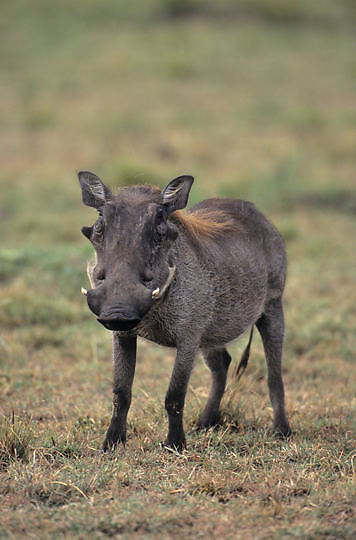 Wart hog, (Phacochoerus aethiopicus) Portrait. Masai Mara Game Reserve. Kenya. Africa.