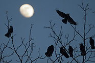 Middletown crows (winter of 2011-12)
