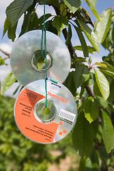 CD bird deterrent on fruit tree on an allotment,
