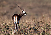 Male of blackbuck (Antilope cervicapra) from Kanha National Park, Madhya Pradesh, India.
