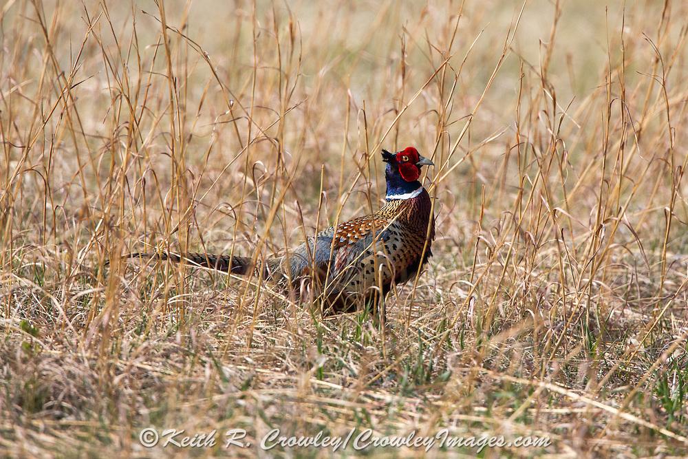 Pheasant in Habitat