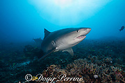 large female tiger shark, Galeocerdo cuvier, with crooked jaw likely from fishing interaction, Honokohau, Kona, Big Island, Hawaii, USA ( Central Pacific Ocean )