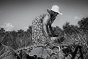 Sara Reynolds Green picks vegetables in the Marshview Community Organic Farm on St. Helena Island. Green's mother was able to put three daughters through college back when the packing houses on the island were paying the local Gullah farmers for their produce. Today there are large corporate farming operations on the island that they would prefer to deal with.