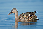 The Gadwall (Anas strepera) duck at Mývatn, Iceland