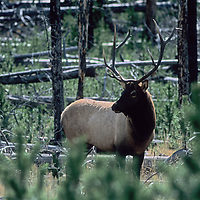 A bull elk stands in a burned lodgepole pine forest in Yellowstone National Park, Wyoming.