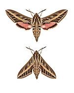 69.015 (1990)<br /> Striped Hawk-moth - Hyles livornica