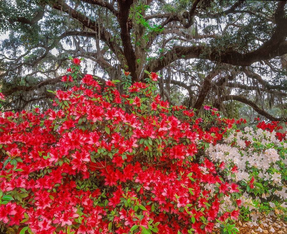 Red & white azaleas in front of moss-draped Live oak, Jekyll Island, GA
