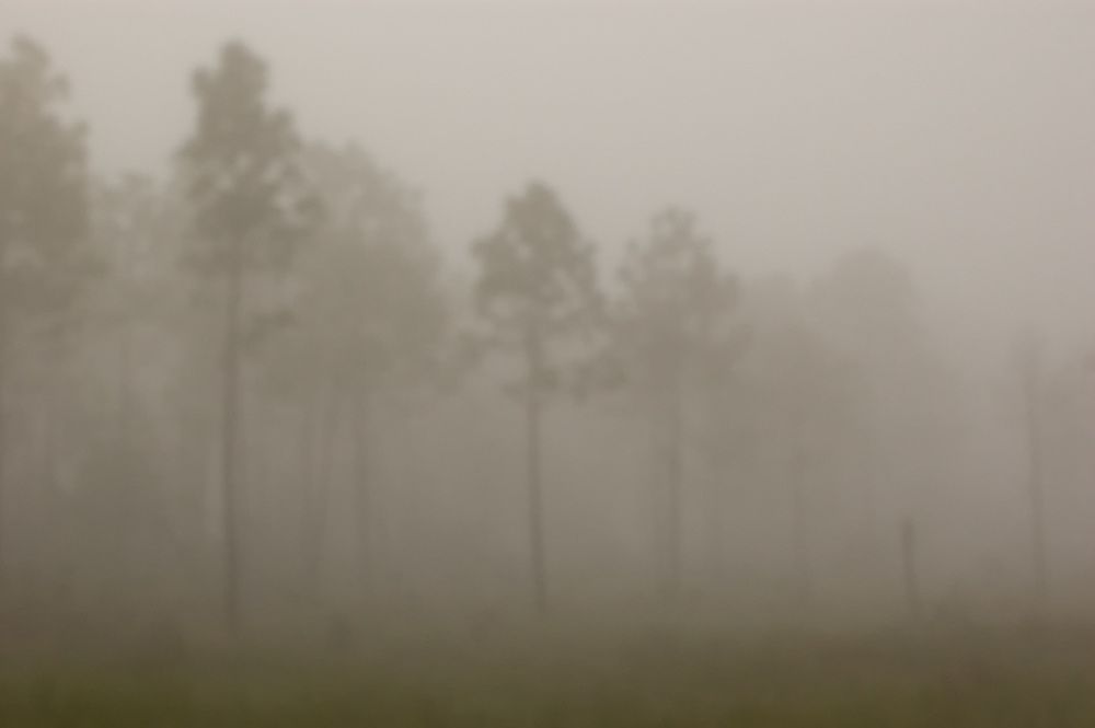 Foggy morning in Corkscrew Swamp in Naples, Florida.