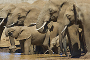 African Elephant<br /> Loxodonta africana<br /> Drinking at waterhole<br /> Lewa Wildlife Conservancy, Northern Kenya