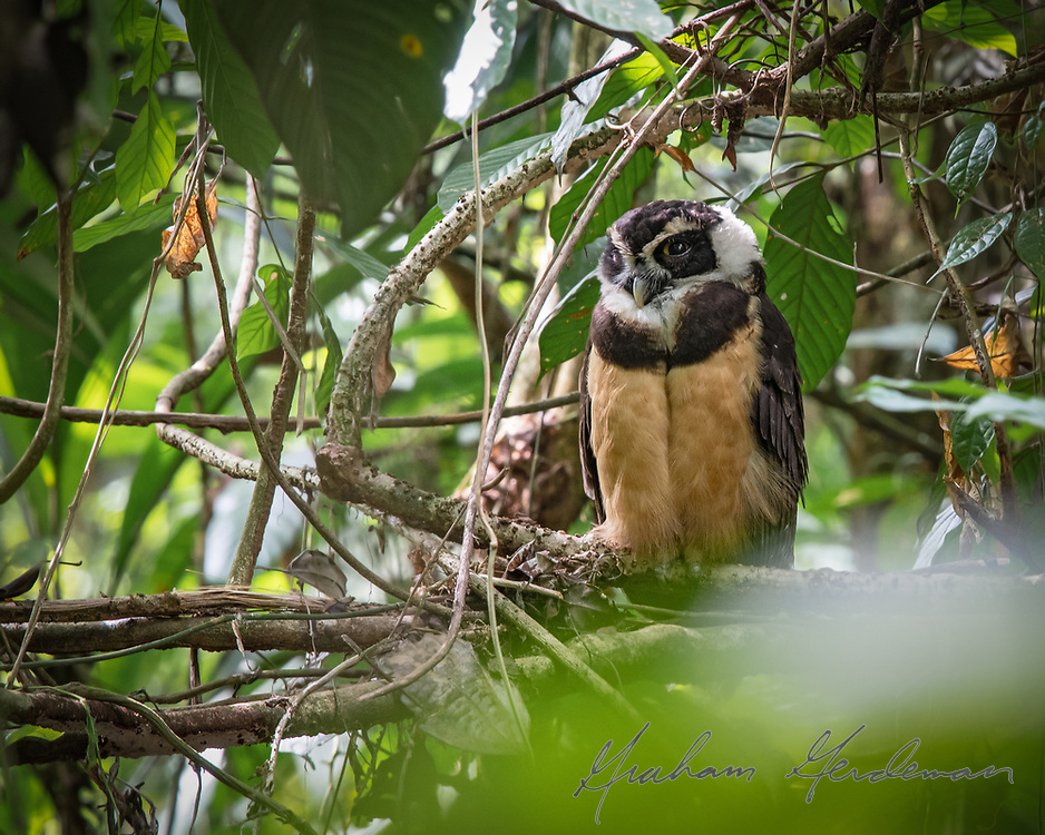 A roosting Spectacled Owl lifts an eyelid to make sure all is well. Taken from well away with a long lens, the owl closed its eyes again and was not disturbed. Costa Rica.