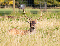 Deer at Charlcotte park warwick photo by Mark Anton Smith