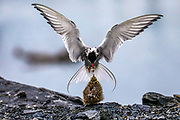 Common tern feeding its chick in Valdez, Alaska