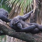 Chimpanzee, (Pan troglodytes) Grooming. Inhabits Africa. Captive Animal.
