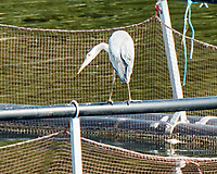 Gray Heron (Ardea cinerea). Viewed from the deck of the MV Explorer transiting the Keil Canal in Germany. Image taken with a Nikon N1V2 camera and 80-400 mm VR lens.