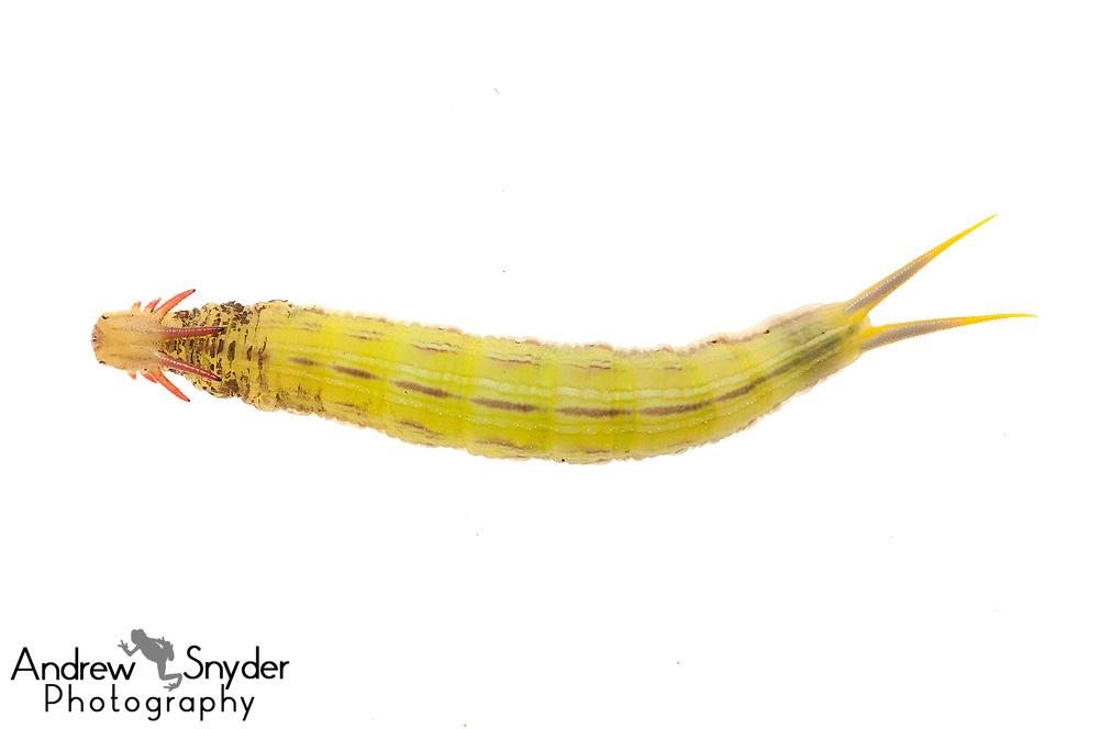 Owl butterfly caterpillar, Caligo sp., Iwokrama, Guyana, July 2013