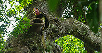 Helmeted Hornbill (Rhinoplax vigil) <br /> Male delivering fruit to female in nest cavity.<br /> Endangered Species (IUCN Red List: CR)<br /> <br /> Budo-Sungai Padi National Park<br /> Narathiwat Province, Thailand