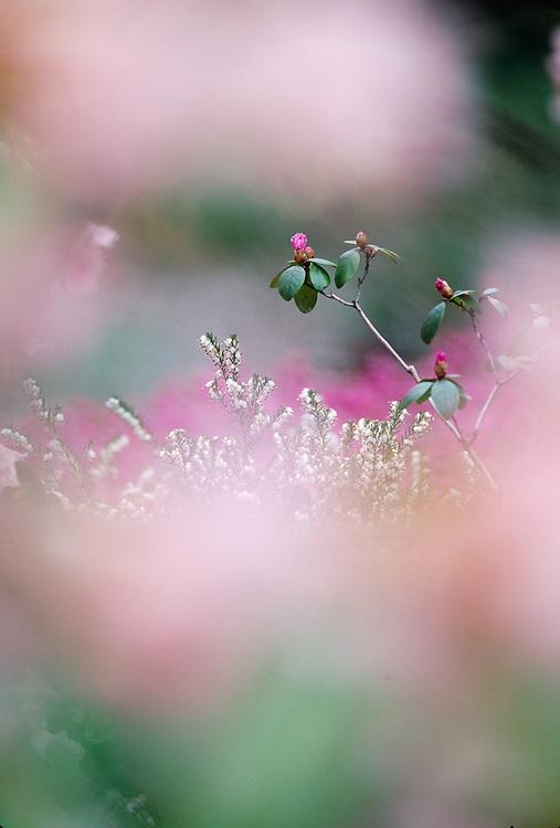 Rhododendron, spring, Washington Park Arboretum, Seattle, Washington, USA