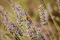 Lavender blossoms with an orange moth.