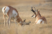 Two buck Pronghorns (antelope) graze and bed in short grass pairie habitat.