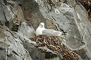 Black-legged Kittiwake nesting on cliff