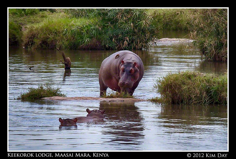 Momma Hippo.Keekorok Lodge, Maasai Mara, Kenya.September 2012