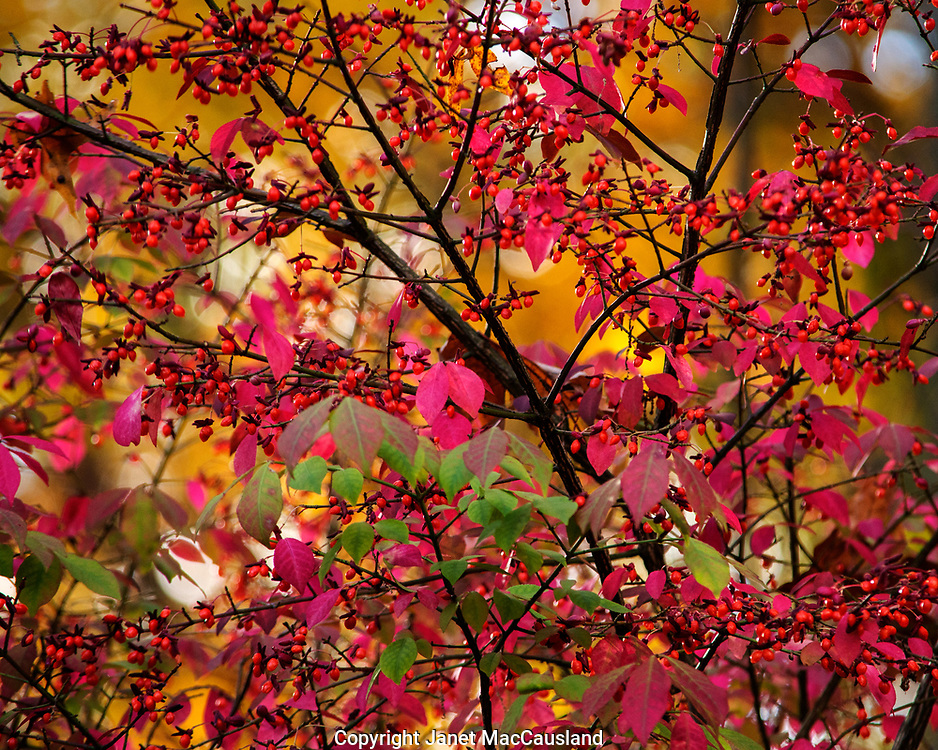 Winterberry and native Burning Bush in warm foliage colors welcome fall.