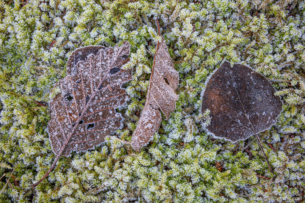 Frost coats several fallen leaves and the ground cover near Spada Lake in Snohomish County, Washington.