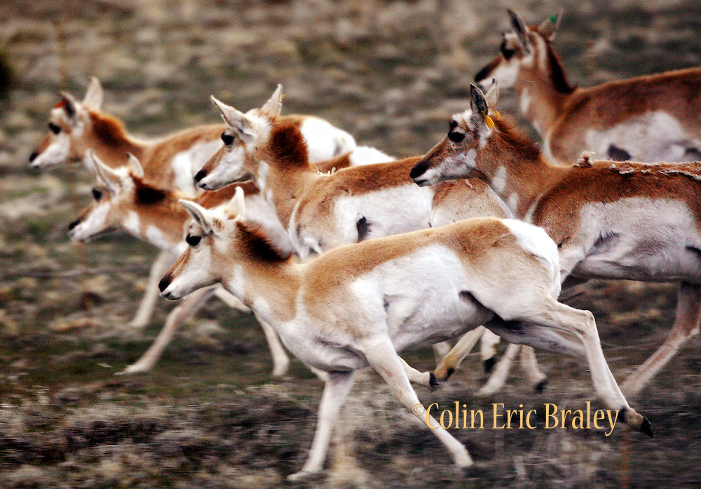 Antelope run in the foothills of Antelope Island State Park, April 4, 2008. There are several hundred of the island's namesake running wild on the Great Salt Lake, Utah island. Colin Braley/Stock