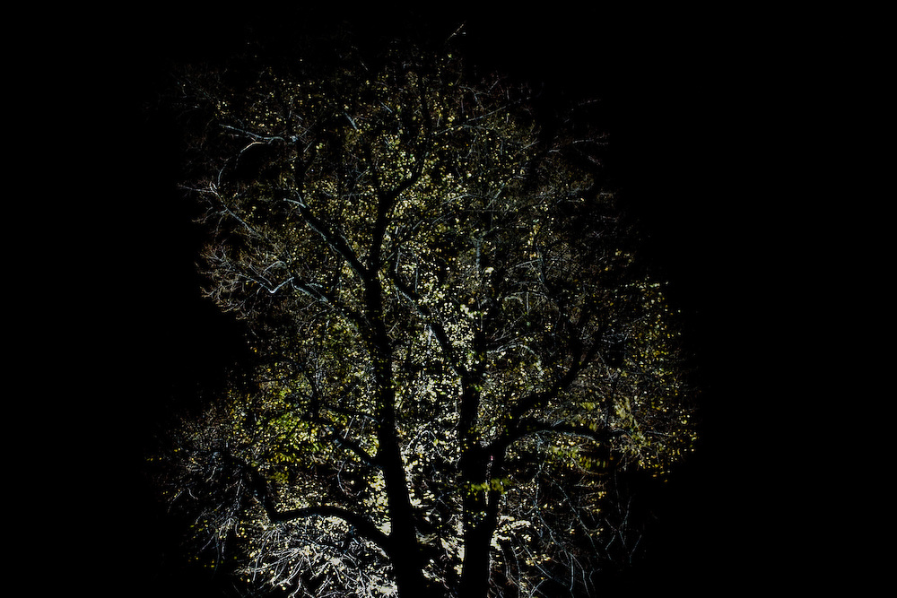 A Backlit Tree at night