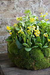 Table centre decoration with Narcissus 'Tete-a-tete', cowslips and Helleborus corsicus