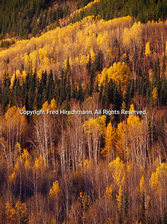 Hillside of quaking aspen and spruce above the Hyland River in northern British Columbia, Canada.