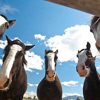 Five quarterhorses crowd around during a beautiful sunny spring day near Cranbrook, Alberta, Canada.