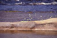 Mariposas amarillas sobre piedra en el río Autana, Amazonas, Venezuela.
