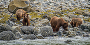 She had three little cubs. These cubs were so incredibly strong as they lifted the big rocks on the shore looking for food.