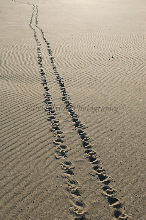 Yellow-spotted River Turtle TRACKS (Podocnemis unifilis) from female ashore to lay eggs.<br /> CITES II VULNERABLE.<br /> Orinoco River, 110 Km north of Puerto Ayacucho. Apure Province, VENEZUELA. South America. <br /> L average 40cm, Wgt 9-12kg. Convex carapace widest at mid-point. Eggs oblong 11-32 per clutch. 50-70 days incubation. Herbacious plus carrion, molluscs, crustations & fish eggs.<br /> HABITAT: Mostly in secondary tributaries of main rivers. Only to main rivers during nesting season when sand banks exposed.RANGE: Amazonia, Llanos & Orinoco of Colombia, Venezuela, Brazil, Guianas, Ecuador, Peru & Bolivia.<br /> Project from Base Camp of the Protected area of the Giant River Turtle (& Podocnemis unifilis). (Refugio de Fauna Sylvestre, Zona de Protecion de Tortuga Arrau, RFSZPTA)<br /> Ministery of Environment Camp which works in conjuction with the National Guard (Guardia Nacional) who help enforce wildlife laws and offer security to camp staff. From here the ministery co-ordinate with other local communities along the river to hand-rear turtles for the first year of their life and then release them. The ministery pays a salary to one person in each community that participates in the project as well as providing all food etc. The turtles are protected by law and there is also a ban on the use of fishing nets in the general area. During the egg laying season staff sleep on the nesting beaches to monitor the nests.  All nests layed on low lying ground are dug up and relocated to an area not likely to flood. They are then surrounded by a net to catch all hatchlings who will then spend the first year of their life in captivity to increase their chances of survival. Biometric data is taken from any female they find that has layed eggs and is returning to the river.