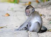 SINGAPORE- MACRITCHIE RESOVOIR PARK Monkeys causing a nuisance 16/01/2010. STEPHEN SIMPSON...