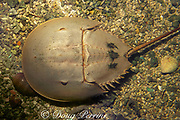 Atlantic horseshoe crab, Limulus polyphemus, (c)<br /> actually not a crab but a chelicerate arthropod, related to <br /> spiders, Florida ( Western Atlantic Ocean )