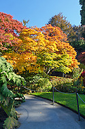Japanese Maple tree fall foliage in the gardens at Queen Elizabeth Park in Vancouver, British Columbia, Canada