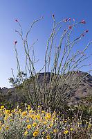 Ocotillo and Desert Marigold at Big Bend Ranch State Park, Texas